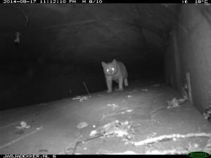 Een (verwilderde?) huiskat gebruikt een landelijk gelegen faunapassage.